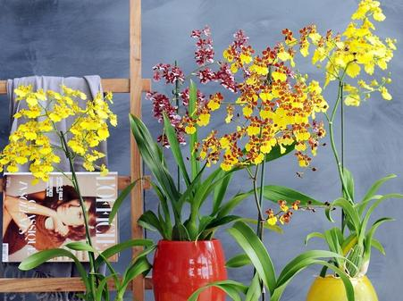 oncidium orchideen sind einfach zu pflegen. Black Bedroom Furniture Sets. Home Design Ideas